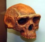 Homo erectus. 1,8 - 0,3 m.a.